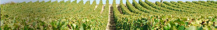 Fine wines from Burgundy