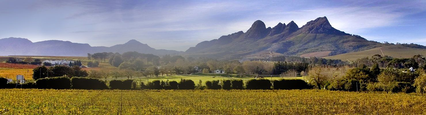 A vineyard in South Africa