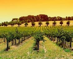 An Australian vineyard