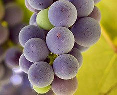 Grapes growing in france