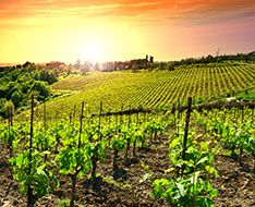 An Italian vineyard
