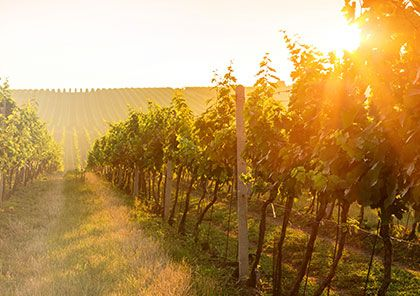 An English Vineyard at sunset