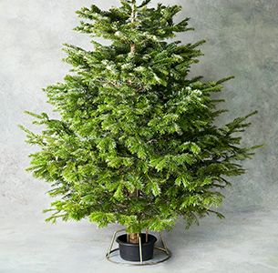 British Nordmann Fir Christmas Tree