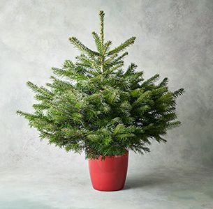 3-4ft British Potted Christmas Tree