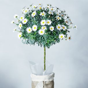 Marguerite tree