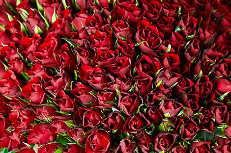 Shop all Sweetheart roses