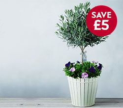 Waitrose Luxury Lavender Tree