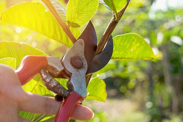 Mit einer roten und älteren Gartenschere wird ein zarter Ast mit grünen blättern abgeschnitten.