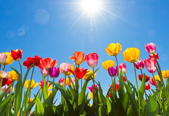 Viele Tulpen in Rot, Rosa, Gelb und Lila richten sich zum blauen Himmel und Sonnenschein.