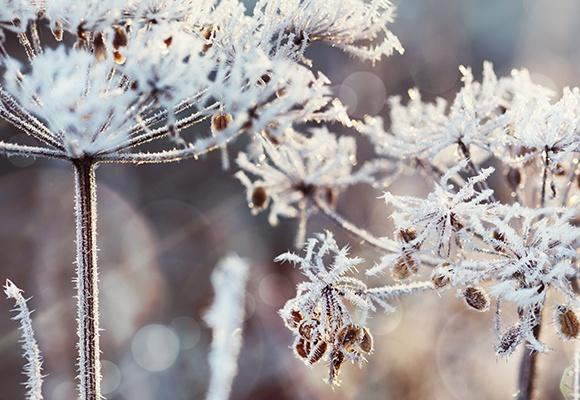 An einer Pflanze sind viele kleine Eiskristalle, es ist Winter.