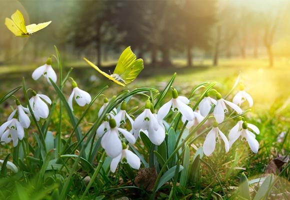 Links auf einem großen Rasen stehen mehrere Schneeglöckchen, die ein gelber Schmetterling ansteuert.