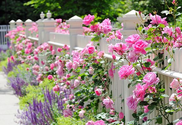 Viele rosa Blumen ranken sich um einen edlen weißen Gartenzaun.