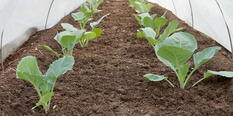 Unter einer großen Plane wachsen grüne blättrige Pflanzen, sie werden vor der Kälte geschützt.