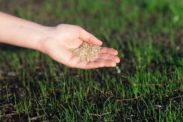 Eine Hand hält viele kleine Pflanzensamen. Unter ihr wächst gerade frisches Gras. Es ist noch undicht.