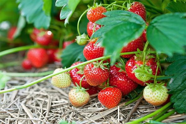 Mehrere Erdbeerpflanzen, an denen saftige rote aber auch grüne Erdbeeren wachsen.