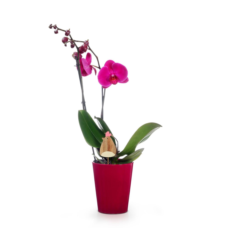 Orchidee, Einfarbig