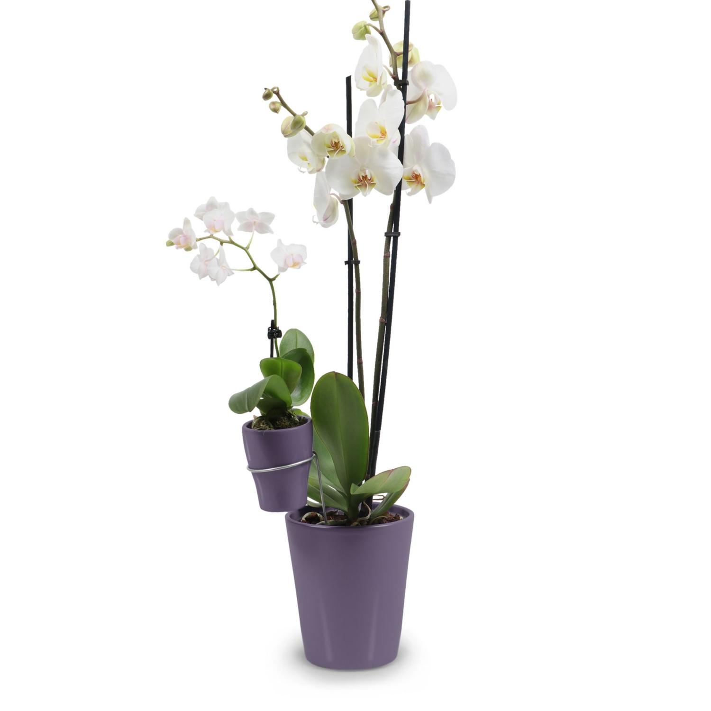 Duo-Orchidee, Plum, Gloss