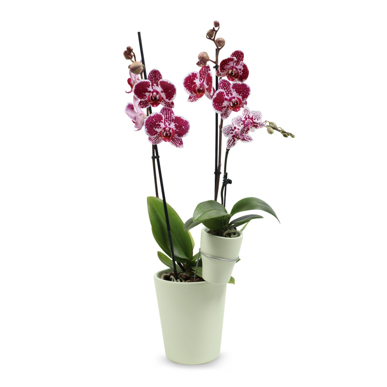 Duo-Orchidee, Light Green, Matt