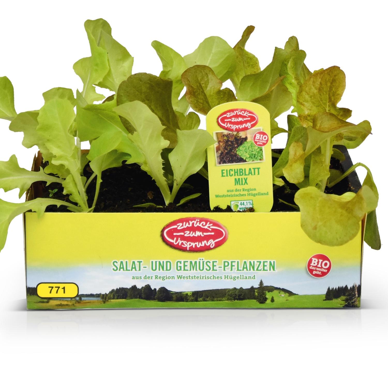 ZURÜCK ZUM URSPRUNG BIO-Salatpflanze aus Österreich