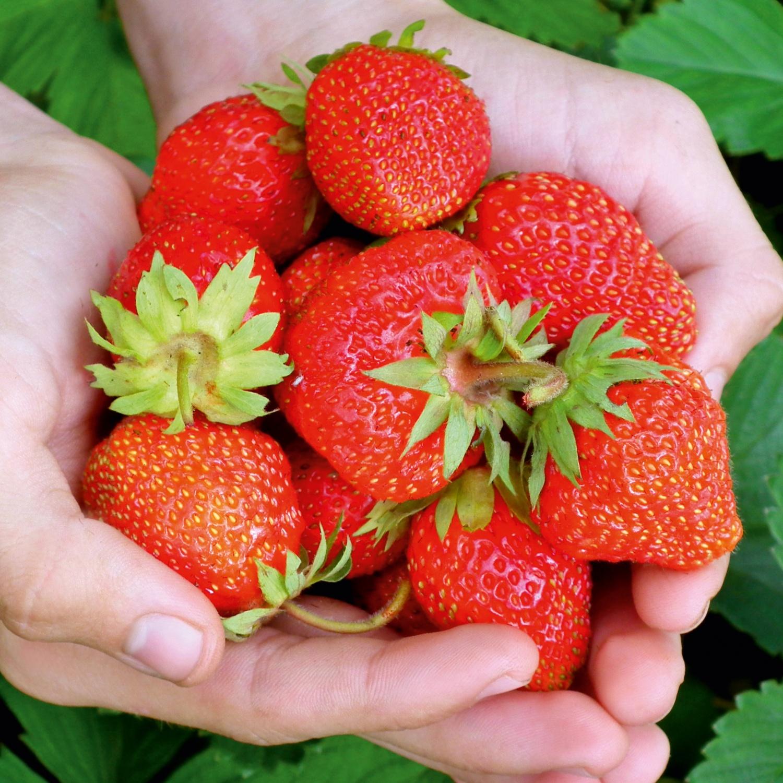 ZURÜCK ZUM URSRPUNG BIO-Erdbeerpflanze aus Österreich