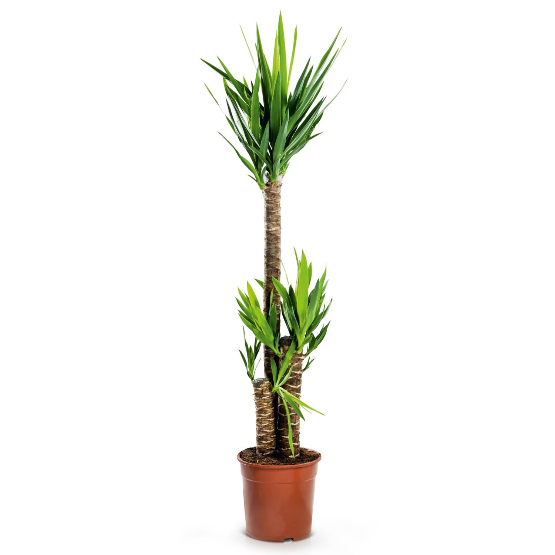 Solitärpflanze, Yucca