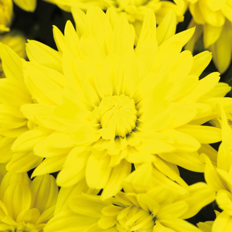 Sommerchrysanthemen-Schale