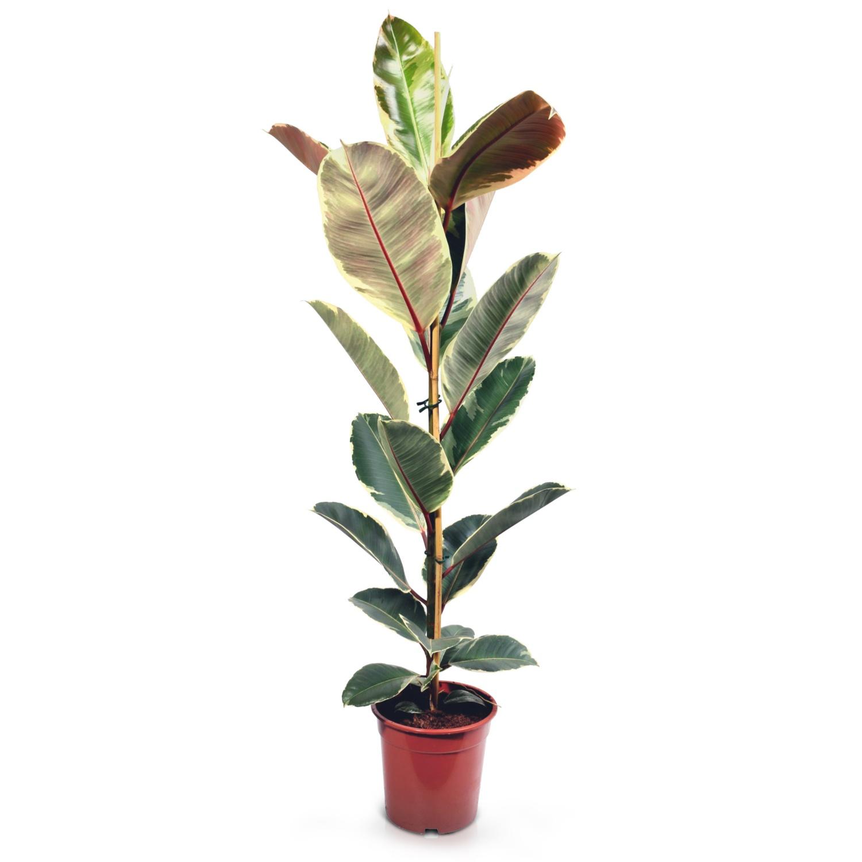 Solitärpflanze, Ficus Tineke