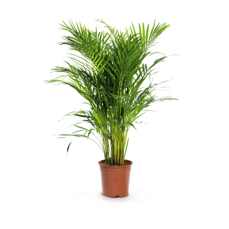 Solitärpflanze, Goldfruchtpalme