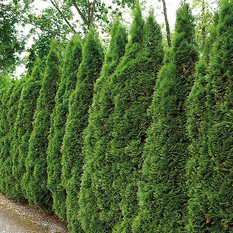 Smaragd Thuje aus Österreich 80 cm