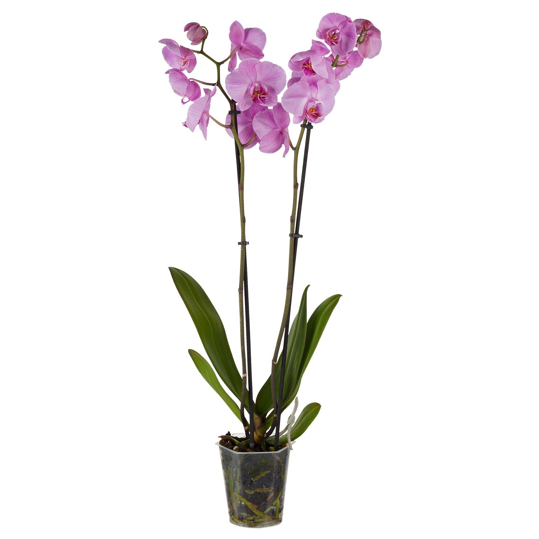 GARDENLINE® Orchidee*