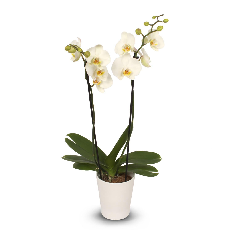 Orchidee in Keramik, Weiß matt