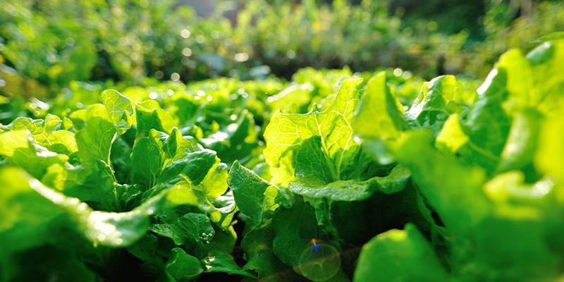 Verfolgen Sie den ganzen Weg unseres Feldsalates direkt vom Feld bis in die Regale unserer HOFER Filialen.
