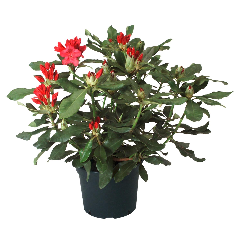 GARDENLINE® Rhododendron*