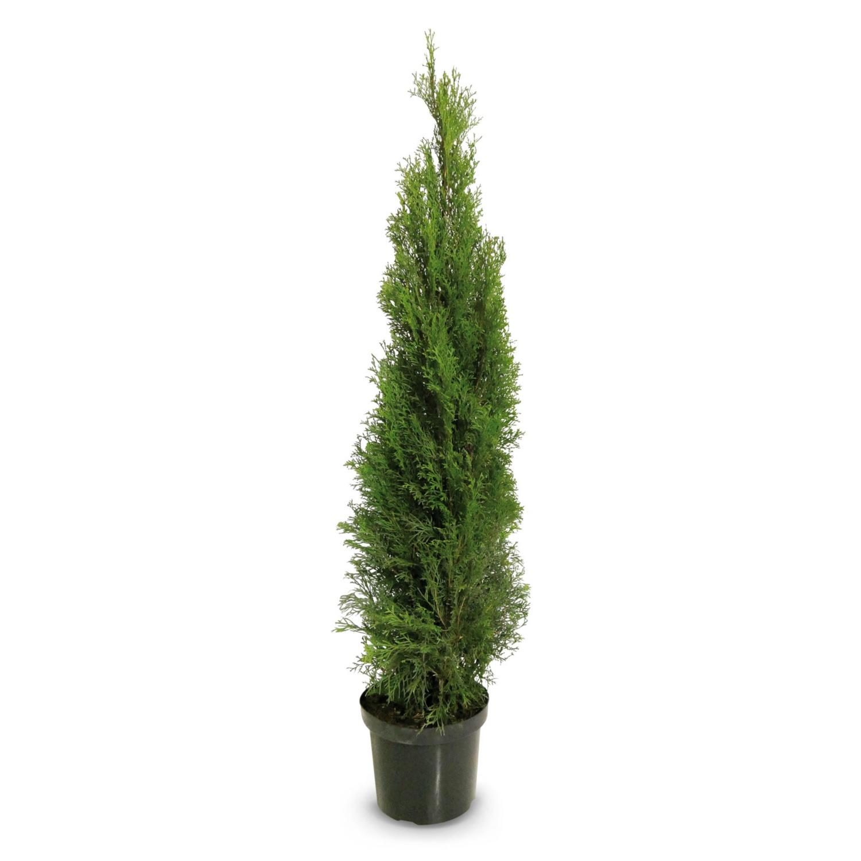 Smaragd Thujen 125 cm