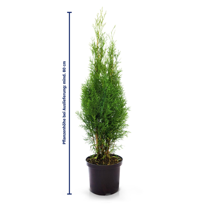 Smaragd Thujen 80 cm