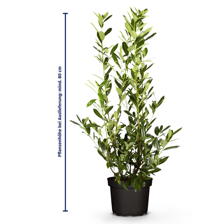 Kirschlorbeer 80 cm