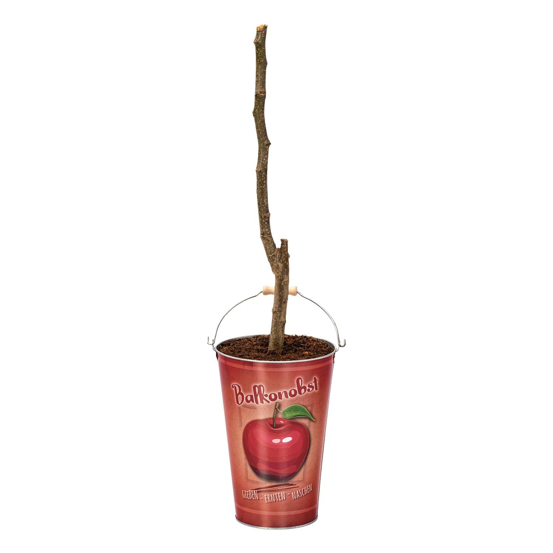 GARDENLINE® Obstbaum im Zinkeimer*