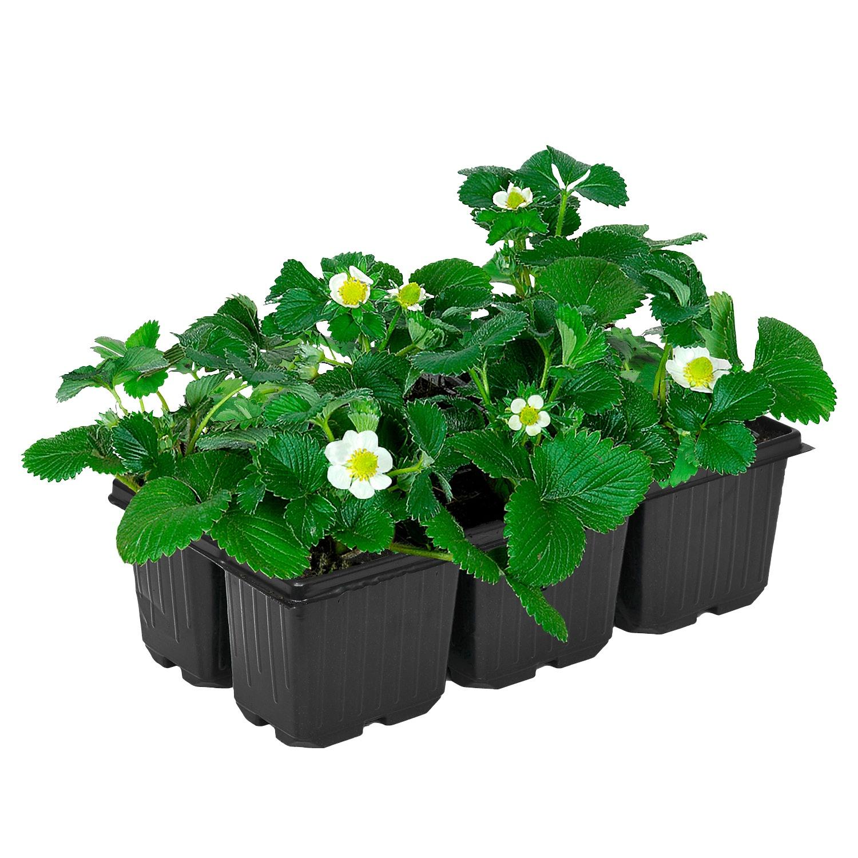 GARDENLINE® Erdbeerpflanzen*