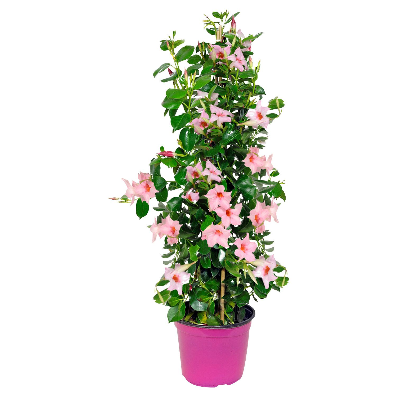 Gardenline® Dipladenia*