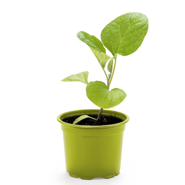 ZURÜCK ZUM URSPRUNG Gemüsepflanze