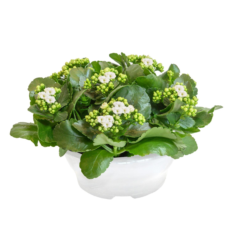 GARDENLINE® Muttertagspflanze*
