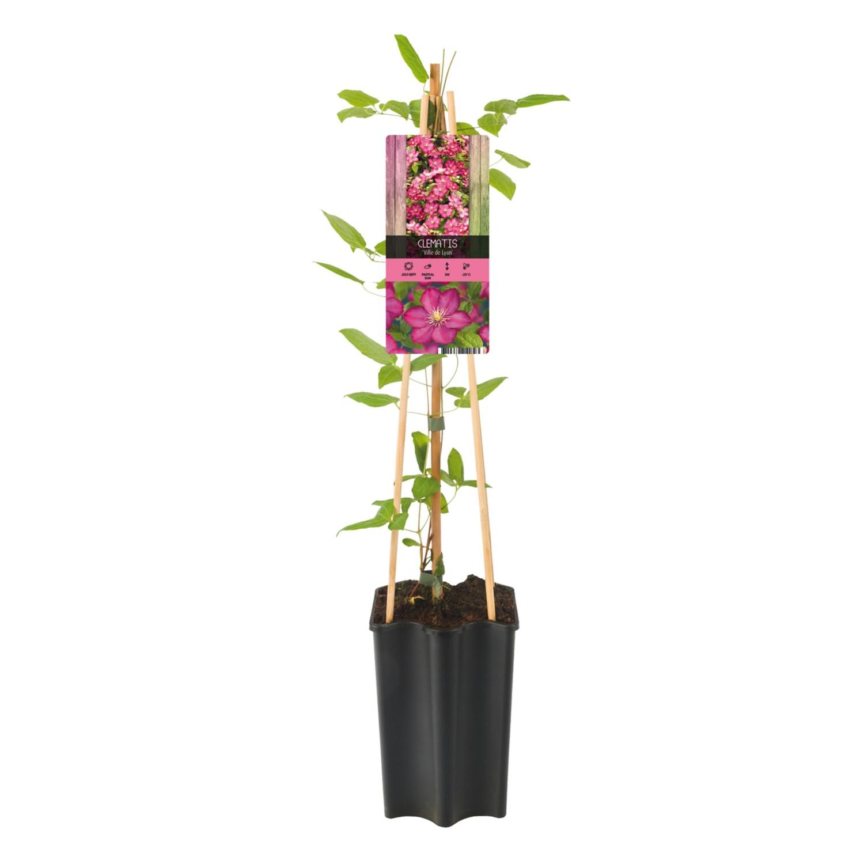 GARDENLINE® Kletterpflanze*