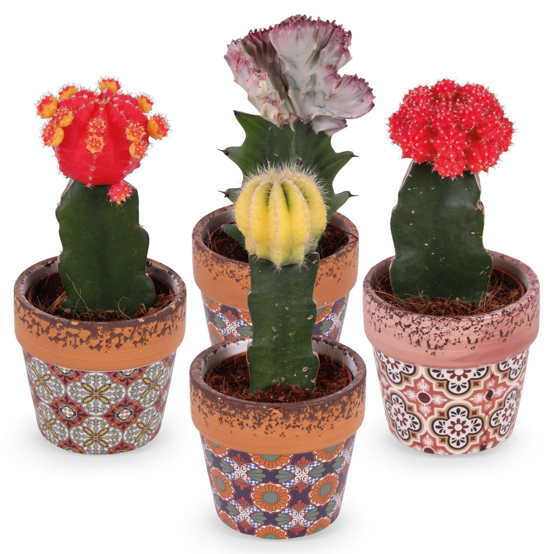 Veredelte Kaktusrarität