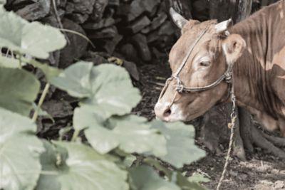 Krowa i liście