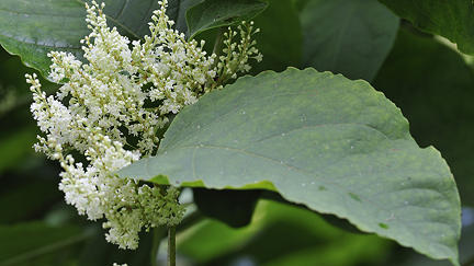 Guidance set to make knotweed manageable