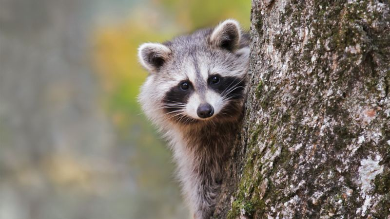 A raccoon peering out from behind a tree