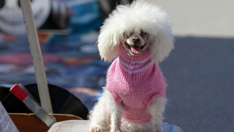 Pretty in pink? En vit pudel med rosa stickad tröja
