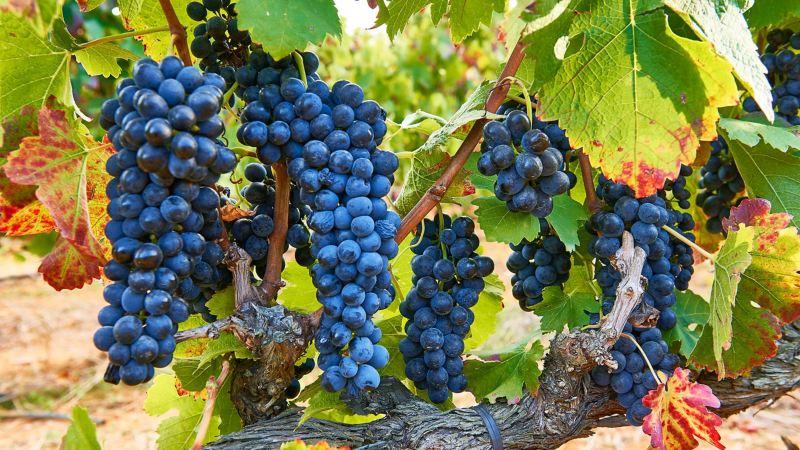 Weinlese bei Kunjani Wines
