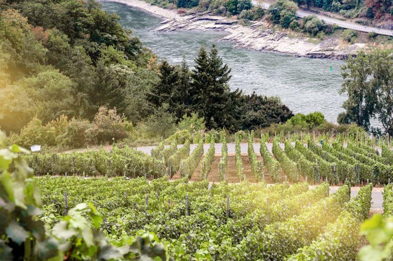 Weinstöcke entlang des Rheins.