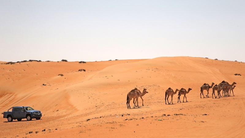 Amarok på led bakom dromedarer i öknen